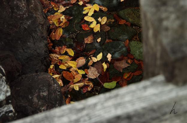 Photos: 濡れ落ち葉