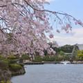 国際会館に桜