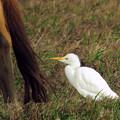 写真: 一隻跟在?牛身後等著大吃一頓的牛背鷺