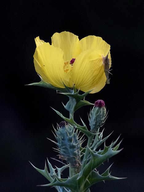 薊罌粟(Argemone mexicana L.)