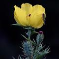 Photos: 薊罌粟(Argemone mexicana L.)