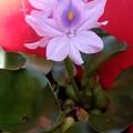 浮き草の花