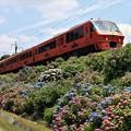 写真: 紫陽花と列車