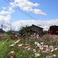 写真: コスモスの咲く沿線