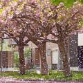 写真: 桜吹雪と言うよりは
