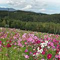 写真: コスモスの丘稜