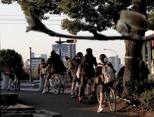 通学路に木蓮
