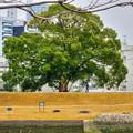 写真: 対岸の大クスノキ(HDR)