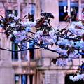 ドームと八重桜(蔵出し)