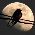 写真: 孤高の燕