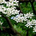 ~大理石のベンチに坐ると見えた風景~ヤマボウシの花♪
