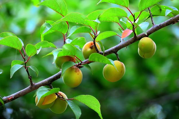 ~梅なのになぜか桃色になる~うへへ~(-_-;)
