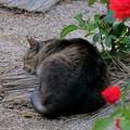 写真: 薔薇の袂に眠り猫