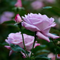 写真: 薔薇