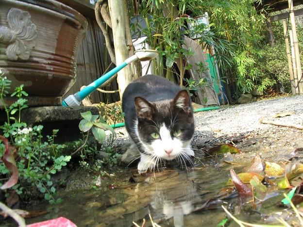 水を飲む白黒2号その2