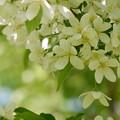 エゾノコリンゴの花