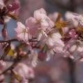 写真: やっと桜前線到着