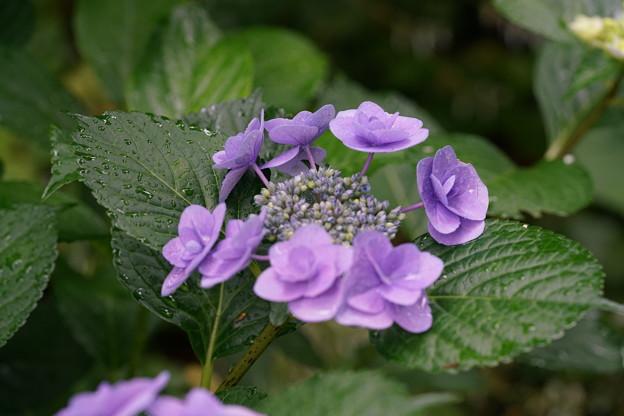 地植えした額紫陽花8