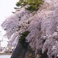Photos: 名古屋桜 西