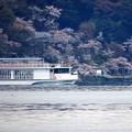 写真: 桜の木の下で(megumi)