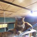 Photos: ひさしぶりのキャットタワ-(猫のチョコ)