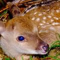 写真: 小鹿の瞳