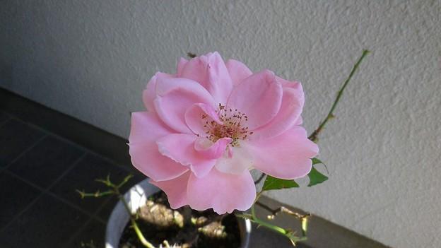 151013-4 ピンクのつるバラ