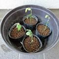 151106-2 赤玉土に植えたバラの挿し木