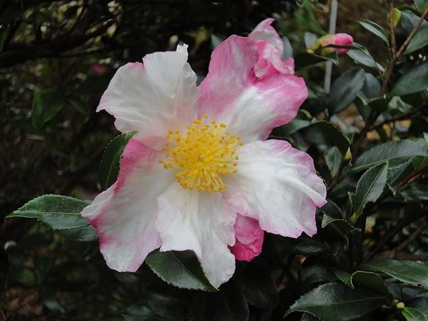 151119-4 白とピンクのサザンカ
