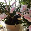 写真: 160212-2 薄いピンクのシャコバサボテン
