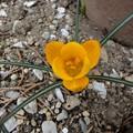 Photos: 160229-3 オレンジ色のクロッカス
