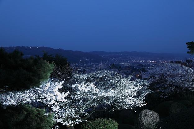 兼六園 眺望台から 桜と夜景