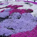 Photos: 芝桜?