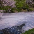 桜散る健民公園 白鳥