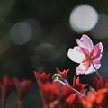最後の秋明菊