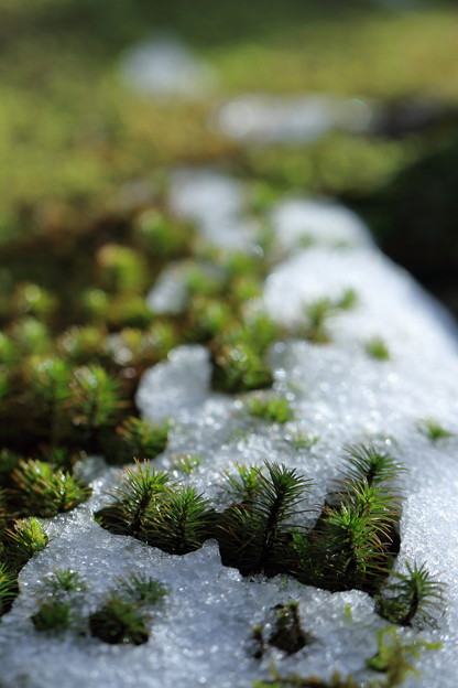 Photos: 杉苔と雪