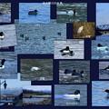 冬の金沢・犀川の水鳥