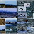 金沢・犀川に架かる橋と冬の水鳥