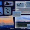 コハクチョウの飛翔  柴山潟干拓地 1