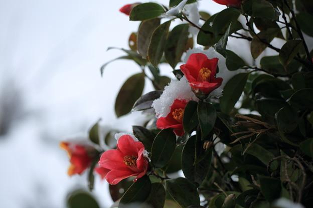 椿と今朝の雪