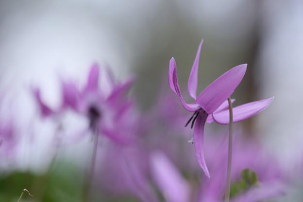 春の妖精 カタクリ(6)