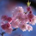 八重紅枝垂れ桜(1)