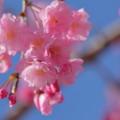 八重紅枝垂れ桜(2)