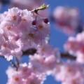 八重紅枝垂れ桜(3)