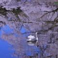 Photos: 桜色に染まって