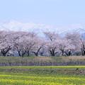 写真: 菜の花と桜並木 朝日岳