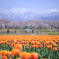 写真: 舟川べりの桜並木とチューリップ畑