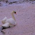 ピンクの花筏を行く(1)