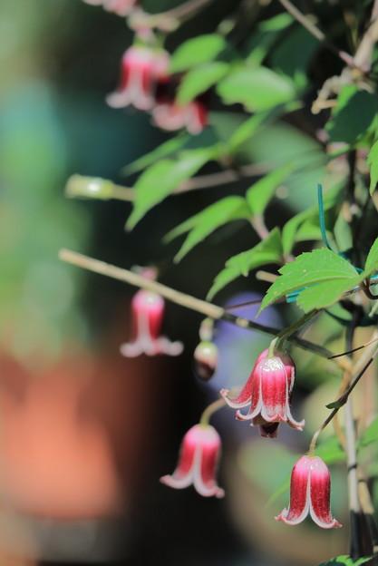 ベル咲きクレマチス