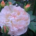 桜貝(2)